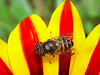 Bee on Gazania flower